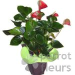 Plantes fleuries Anthurium